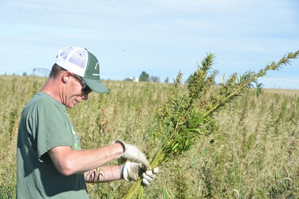 Ask a Stoner: What Hemp Strains Should I Buy for My Grow? - Gassho
